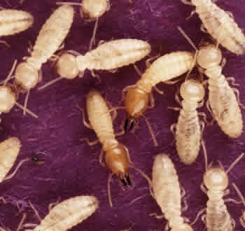 Worker and Army Termites - Image Courtesy of USDA